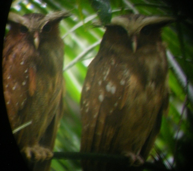 CrestedOwls1