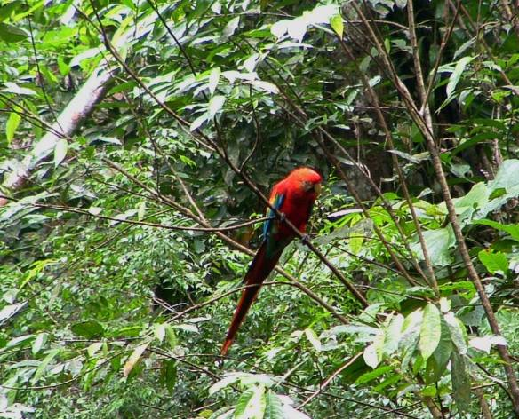 Macaw4