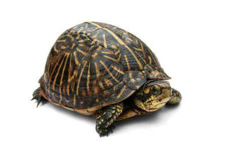 640px-Florida_Box_Turtle_Digon3