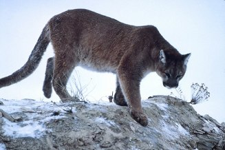 640px-Mountain-lion-01623
