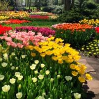 Too Many Tulips?